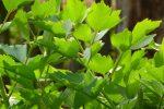 frunzele de leustean